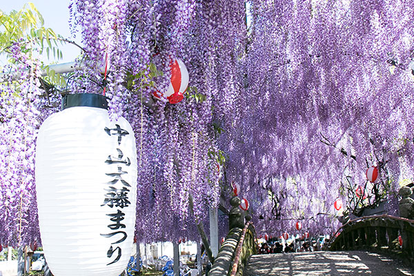 【日本】全日本紫藤花大賞-紫色夢幻世界!