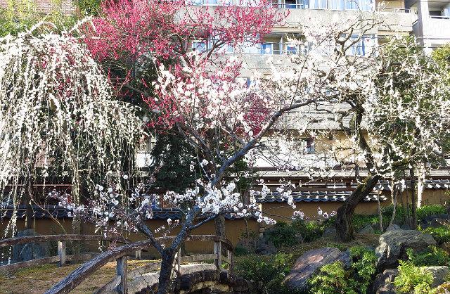 【日本】寒冬中綻放,典雅堅毅的純白飛雪「梅花」東京篇