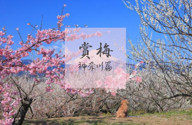 【日本】寒冬中綻放,典雅堅毅的純白飛雪「梅花」- 神奈川篇