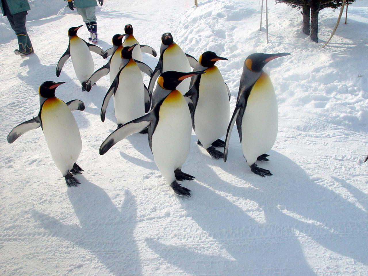 旭山動物園 企鵝散步