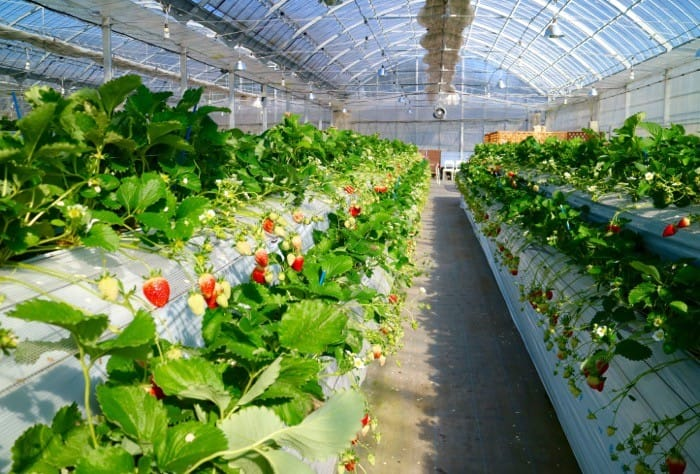 th_strawberry_farm_20160214f