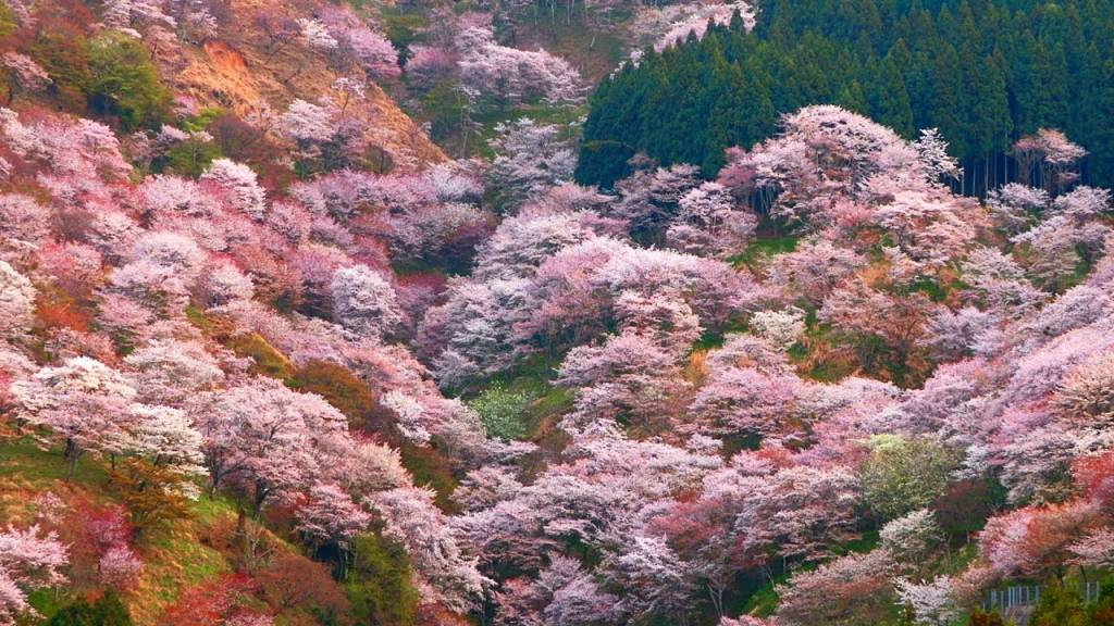 奈良賞櫻景點~與小鹿一同沈浸在櫻花中!