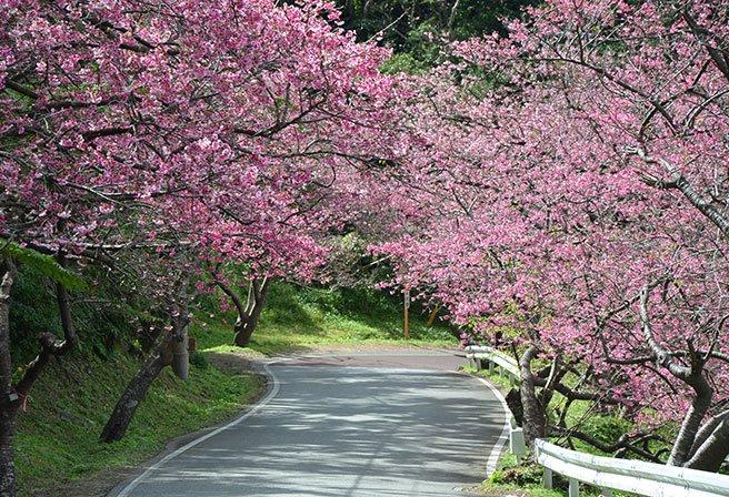 二月就可以賞櫻?快來看看沖繩的櫻花祭情報!