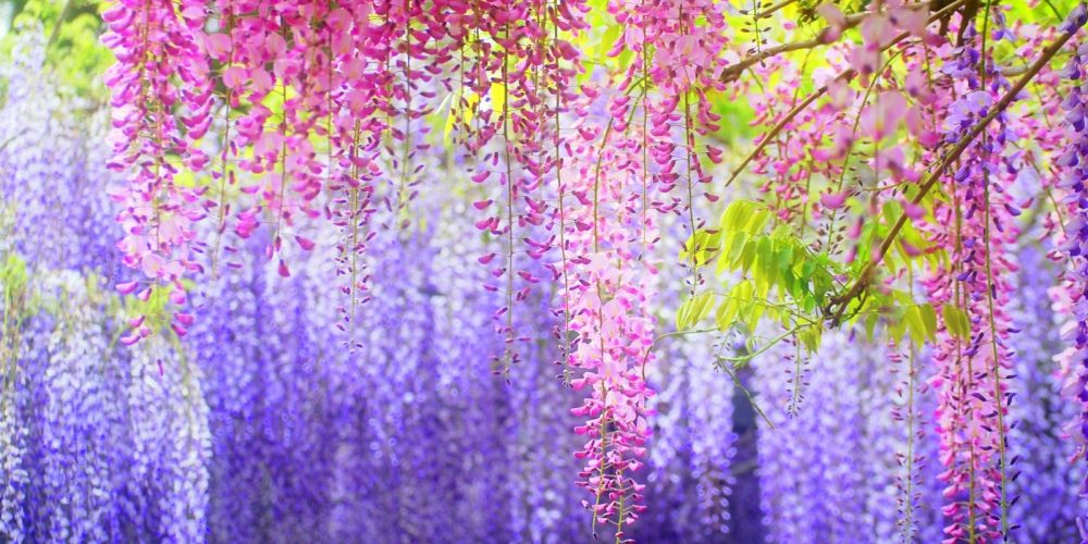 紫藤花最夢幻的紫色饗宴-足利花卉公園+福岡秘境