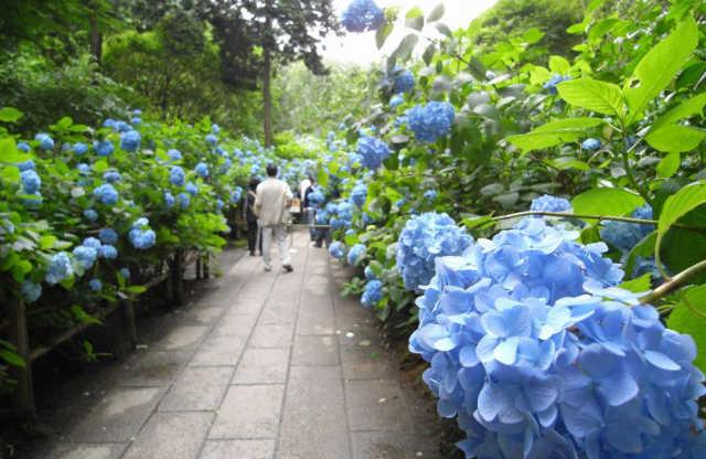 梅雨季的東京,讓粉嫩的繡球花療癒您的小心靈!賞繡球花熱門景點!