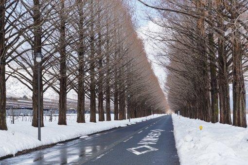 【日本】紅葉追尋日誌:水杉林蔭大道篇